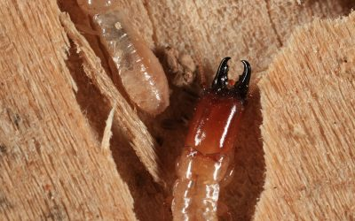 Drywood Termites and their importance in household and structural pest control in Sri Lanka